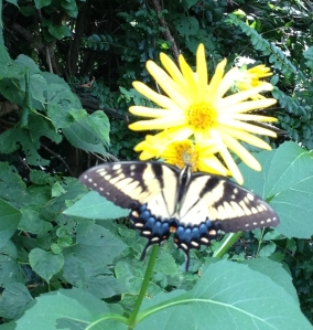 RC_tigerswallowtail